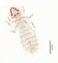 28465 Abrocomophaga chilensis PT d IN