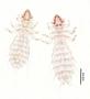 28466 Abrocomophaga chilensis PT d IN