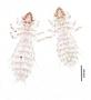 28466 Abrocomophaga chilensis PT v IN