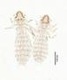 28467 Abrocomophaga chilensis PT v IN