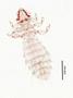 28471 Abrocomophaga chilensis PT v IN