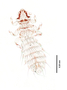 28476 Abrocomophaga chilensis PT v IN
