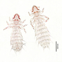 28480 Abrocomophaga chilensis PT d IN