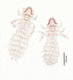 28480 Abrocomophaga chilensis PT v IN