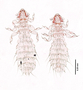 28482 Abrocomophaga chilensis PT v IN
