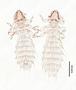 28486 Abrocomophaga chilensis PT d IN