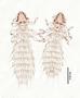 28486 Abrocomophaga chilensis PT v IN
