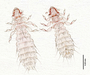 28487 Abrocomophaga chilensis PT v IN