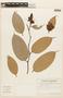 Cavendishia tarapotana var. tarapotana, ECUADOR, F