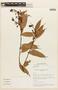 Cavendishia tarapotana var. tarapotana, COLOMBIA, F