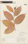 Cavendishia tarapotana var. gilgiana (Hoerold) Luteyn, COLOMBIA, F
