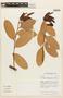 Cavendishia tarapotana var. gilgiana (Hoerold) Luteyn, ECUADOR, F