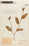 Cavendishia tarapotana (Meisn.) Benth. & Hook. f., COLOMBIA, F
