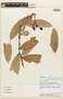 Cavendishia tarapotana (Meisn.) Benth. & Hook. f., PERU, F