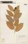 Cavendishia tarapotana (Meisn.) Benth. & Hook. f., ECUADOR, F