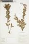 Gaultheria reticulata Kunth, Peru, I. M. Sánchez Vega 5772, F