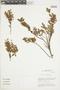 Gaultheria reticulata Kunth, Peru, M. O. Dillon 6259, F