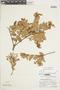 Gaultheria reticulata Kunth, Peru, P. C. Hutchison 6459, F