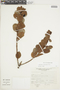 Gaultheria reticulata Kunth, Peru, J. Mostacero León 1029, F