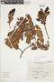 Gaultheria reticulata Kunth, Peru, A. Sagástegui A. 12127, F