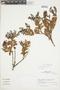 Gaultheria reticulata Kunth, Peru, J. G. Sánchez V. 420, F