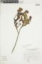 Gaultheria reticulata Kunth, Peru, J. Mostacero León 1609, F
