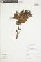 Gaultheria reticulata Kunth, Peru, J. G. Sánchez V. 513, F