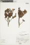 Gaultheria reticulata Kunth, Peru, A. Sagástegui A. 12873, F