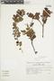 Gaultheria reticulata Kunth, Peru, J. G. Sánchez V. 333, F