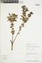 Gaultheria reticulata Kunth, Peru, C. Díaz S. 2573, F