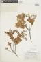 Gaultheria reticulata Kunth, Peru, H. E. Stork 10126, F