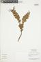 Gaultheria reticulata Kunth, Peru, N. Dostert 98/116, F