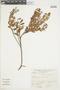 Gaultheria reticulata Kunth, Peru, A. Sagástegui A. 8564, F