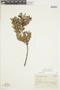 Gaultheria reticulata Kunth, Peru, J. J. Soukup 4676, F