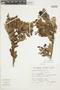 Gaultheria reticulata Kunth, Peru, S. Llatas Quiroz 1325, F