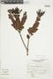 Gaultheria reticulata Kunth, Peru, J. Mostacero León 1755, F