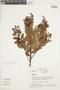 Gaultheria reticulata Kunth, ECUADOR, F