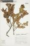 Gaultheria reticulata Kunth, Peru, S. Llatas Quiroz 3079, F