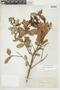Gaultheria reticulata Kunth, BOLIVIA, F
