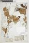 Gaultheria reticulata Kunth, PERU, F