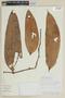 Psammisia guianensis Klotzsch, PERU, F