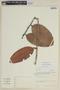 Psammisia guianensis Klotzsch, VENEZUELA, F