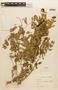 Leucaena trichodes image