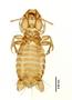 28865 Eutrichophilus emersoni PT v IN