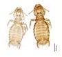 28866 Eutrichophilus emersoni PT d IN