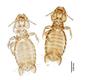 28866 Eutrichophilus emersoni PT v IN