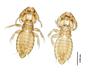 28870 Eutrichophilus emersoni PT d IN