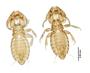 28870 Eutrichophilus emersoni PT v IN