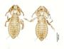28873 Eutrichophilus emersoni d IN