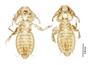 28873 Eutrichophilus emersoni v IN